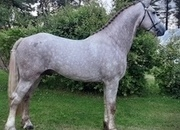Approved Class 1 Irish Draught Stallion - 3yr Old