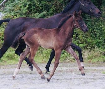 Black Oldenburg colt foal