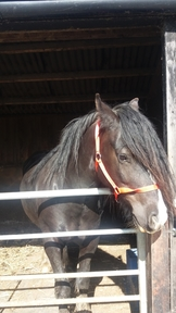 Ebony 15hh cob for sale