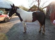 Irish cob mare