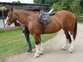 Bomb-Proof Steady Mare for Hacking near Guildford for sale in United Kingdom