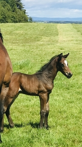 Beautiful Bay Colt foal