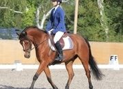 14.2hh Exceptionally smart Bay 7yo warmblood x Welsh gelding