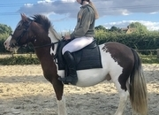 12.2hh Chnky skewbald 5yo Ride and Drive gelding