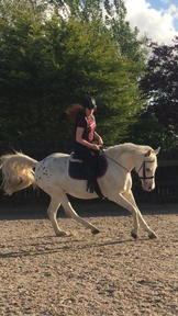 15.2hh Appy x Arab for sale