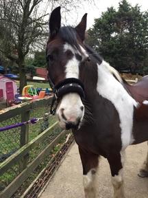 Happy hacker  14.2hh mare