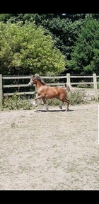Flashy Welsh A filly