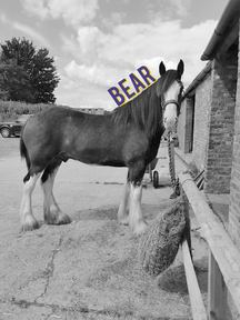 17.3HH TO MAKE 18HH CLYDESDALE FOR PART LOAN
