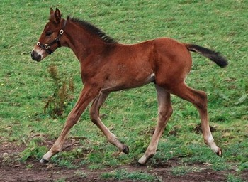 Super Athletic Warmblood Filly foal