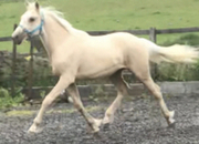 Registered Yearling palomino warmblood /draught filly to mature to 16.2 hh