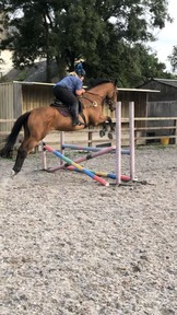 16'2  show jumper / all rounder
