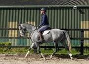 16hh Exceptional Gelding by WOMANISER