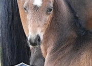 2019 KWPN Dressage colt by Contendro x Sir Oldenburg x Gribaldi