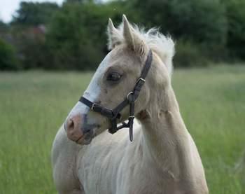 Native Sports Pony ***SOLD***