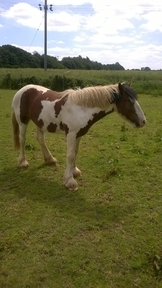 to make 14.2hh plus, 18 month gelding, CHAPS, vaccinated.