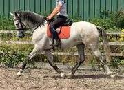 Pre Andalusian mare