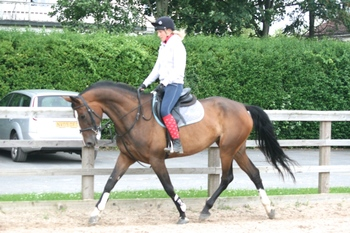 SUPERB All Rounder - GORGEOUS BAY MARE 11 year-old - Warmblood - 16.3 hh -