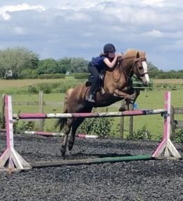 13hh 6 y/o Welsh Section C Mare