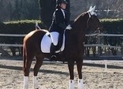 167cm Junior Dressage / Riding club horse.