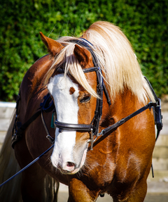 Welsh Section D Gelding, rising 4, expected to make 15.3/16hh