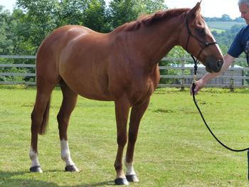 Limerick Lad - Irish Sport Horse