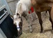 Palomino filly foal - mare also available