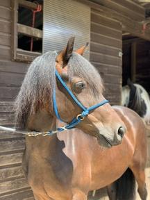 Brandy 13.3hh Welsh pony