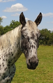 Stunning Spotted Sport Horse