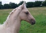 Gorgeous palomino warmblood filly