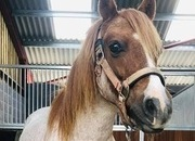 12.2 Strawberry Roan Gelding welsh section A Pony