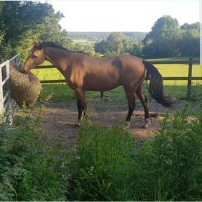 14.2hh registered PBA quantock hills pony
