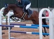 16.1hh 1.20m horse