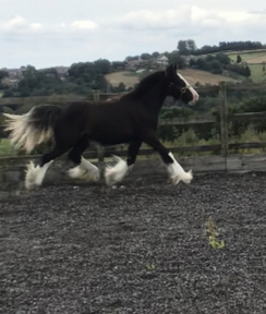Black Heavy Traditional cob filly with four white socks