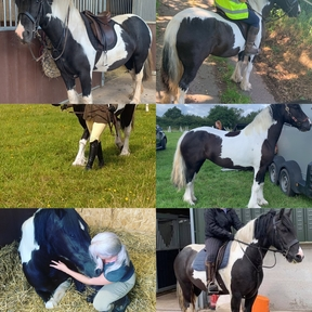 2013 happy hacker 14hh compacted mare coloured welsh cross cob