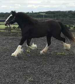 Duck.Black Heavy Traditional cob filly with 4 white evenly marked matching socks.
