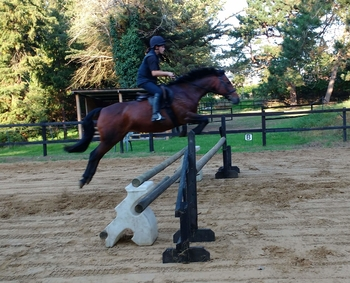 Gorgeous 15.1 bay mare