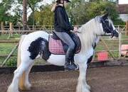 BEAUTIFUL 13,1-2Hh Cob Mare - Ride and Drive - Very Sweet