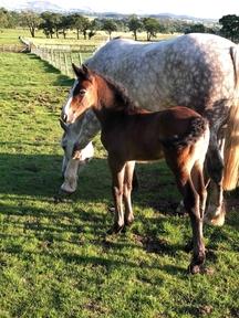 Purebred Irish draught colt foal