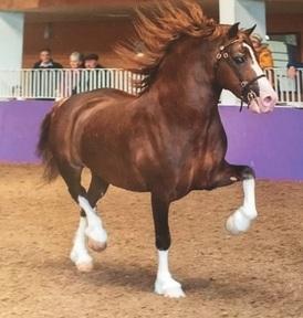 Budore Alphonsus- Welsh Cob- Stallion- 6 Year Old