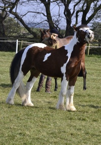 Coloured Cob pony