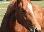 Impressive chestnut colt by Furst Toto