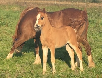 Budore Welsh Cobs- Colt Foal for Sale