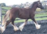 Liver Chestnut Traditional cob Gelding 14 months  old with four white socks