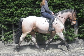 SUPERB RIDING CLUB HORSE/HUNTER