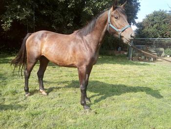 Homebred Sports Horse