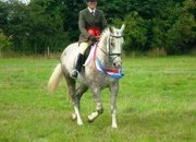 Irish Draught x Thoroughbred, 16.0 Hands Grey Mare, 12 Years