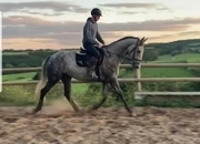 Stunning  grey mare anyone ride