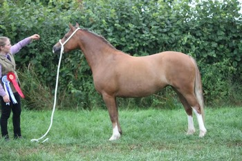 registered section c mare 131cm perfect allrounder