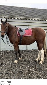 16 hh ride and drive mare