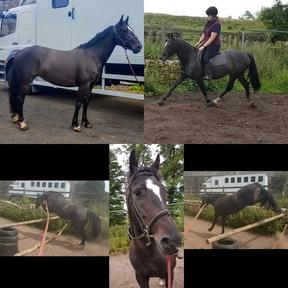 Jaz, 15hh 5yr old mare